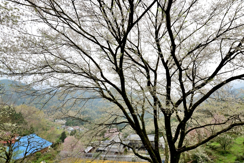 「伴田の桜」   (徳島県つるぎ町)