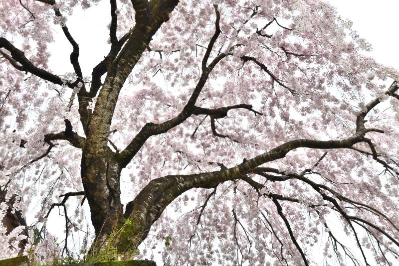 「木屋平しだれ桜1」   (徳島県木屋平)