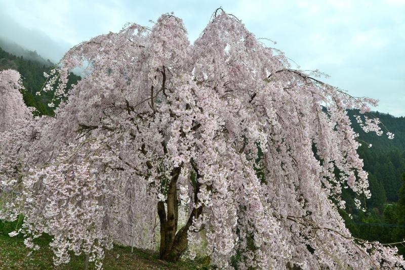 「木屋平しだれ桜3」   (徳島県木屋平)