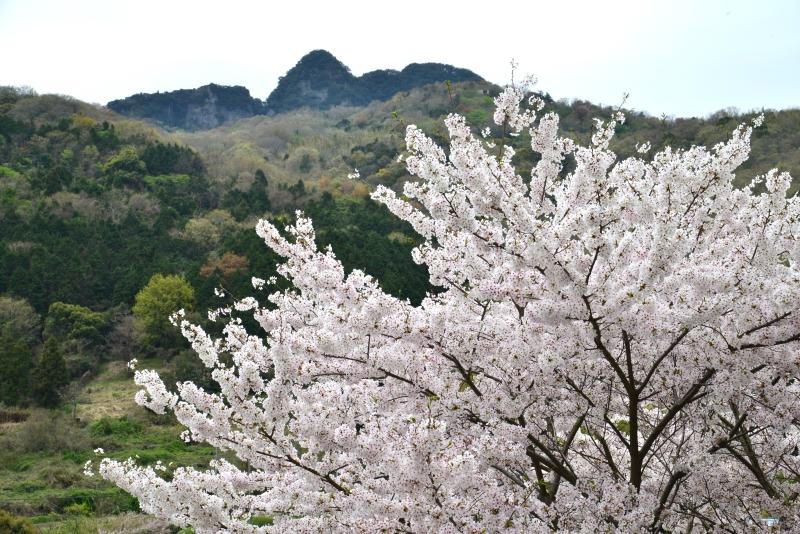 「桜咲く裏五剣山」  (香川県庵治町)