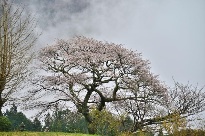 「霧湧く葛篭野一本桜1」    (香川県まんのう町)