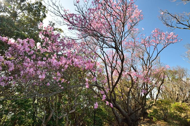 「咲き続ける大樹(アケボノツツジ)」 (愛媛高知県境篠山)