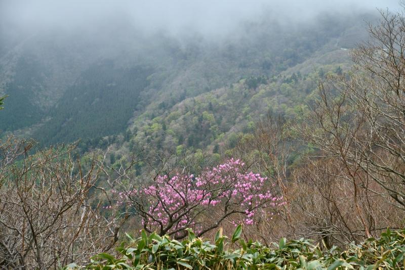 「霧に佇む曙ツツジ1」  (愛媛県西条)