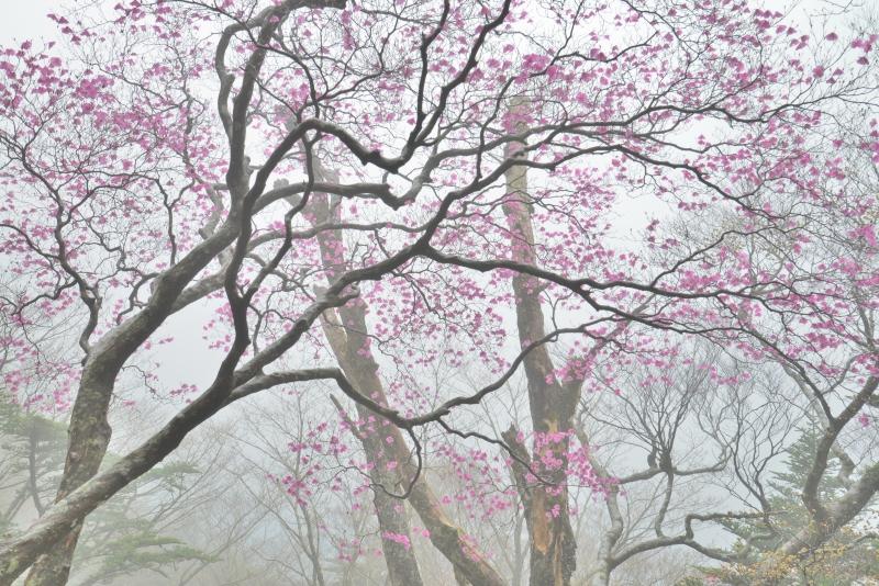 「霧に佇む曙ツツジ6」  (愛媛県西条)