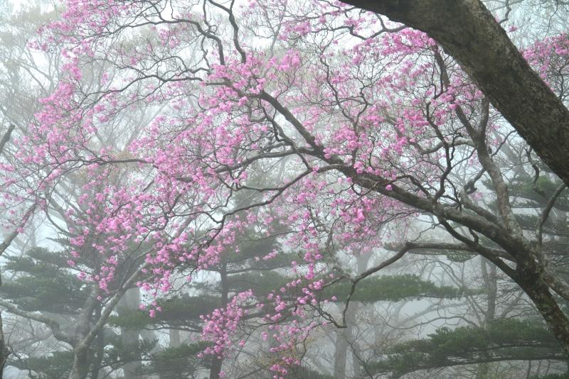 「霧に佇む曙ツツジ7」  (高知県本川村)