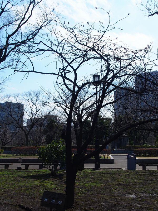kannhizakura01.jpg