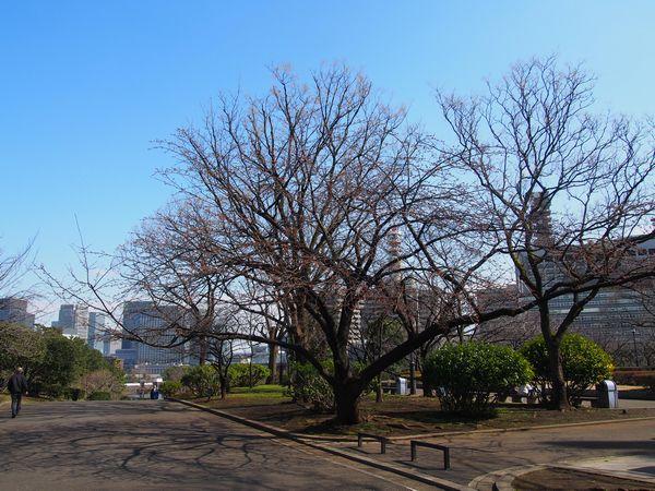 kannzakura01.jpg