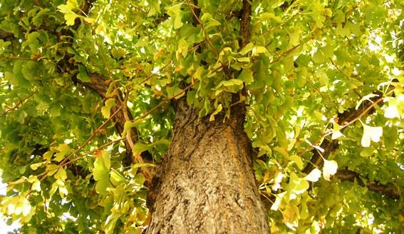 koto-tree 1