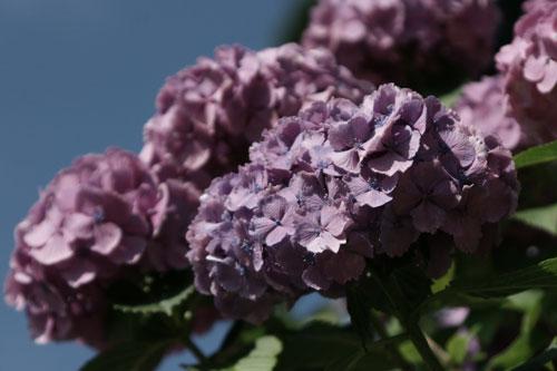 20150620青空と紫陽花