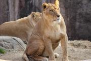 lion-001.jpg