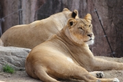 lion-002.jpg