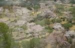 タワーからの桜