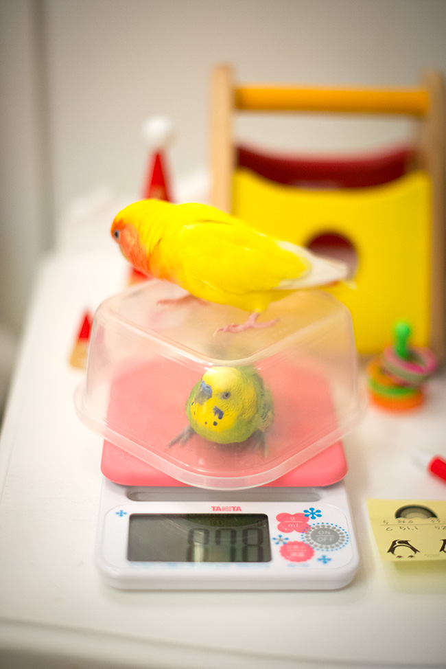 インコ 体重測定