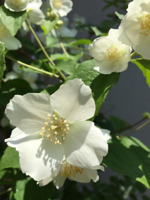 うつぎの花