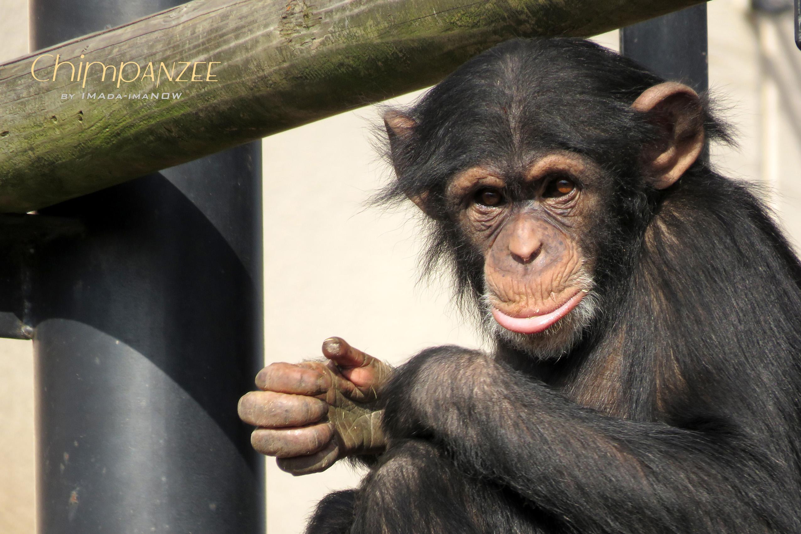 IMG_3971a チンパンジー
