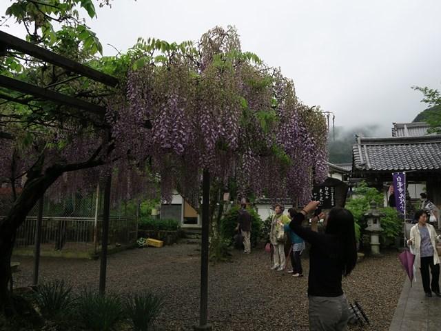 白毫寺(藤の花) (4)