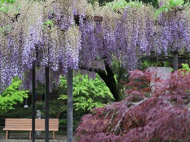 白毫寺(藤の花) (7)