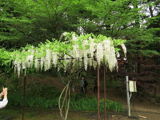 白毫寺(藤の花) (12)