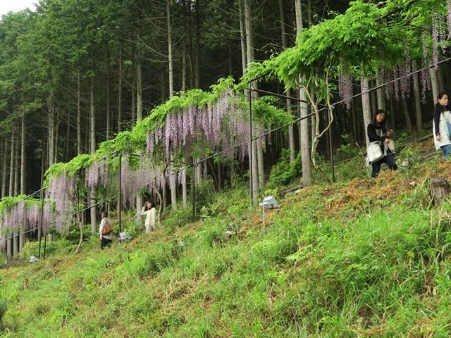 白毫寺(藤の花) (17)
