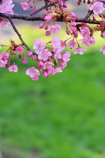 葵桜(河津桜)