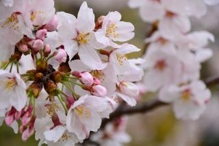 岡崎市 南公園 桜