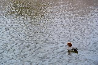 羽根大池 ヒドリガモ
