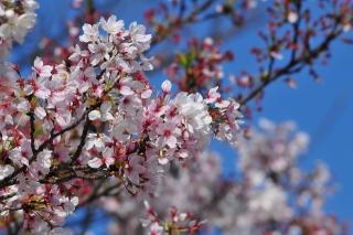 岡崎公園 岡崎城 桜