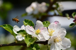 リンゴの花とミツバチ