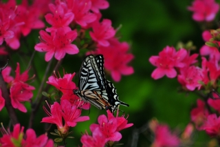 春咲の丘 アゲハチョウ