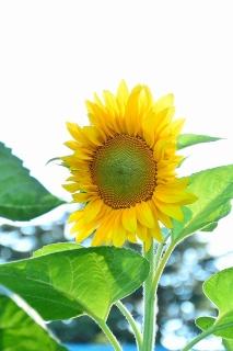 南公園 向日葵