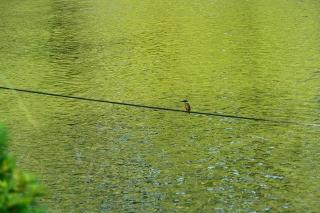 南公園 カワセミ