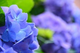 春咲の丘公園 紫陽花
