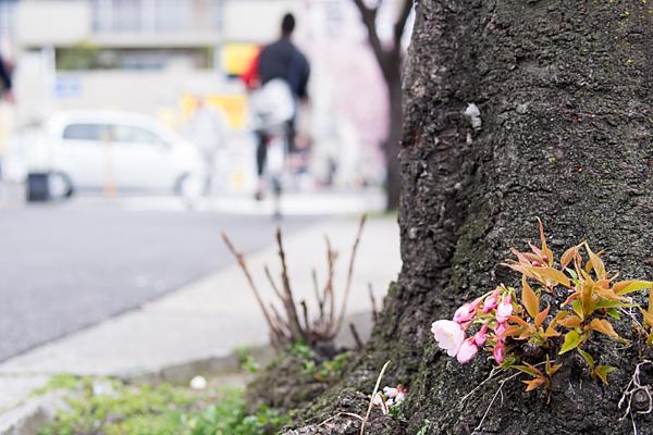 高岳桜-7