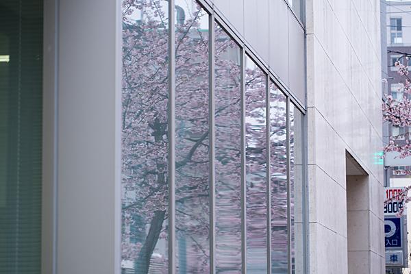 高岳桜2-11