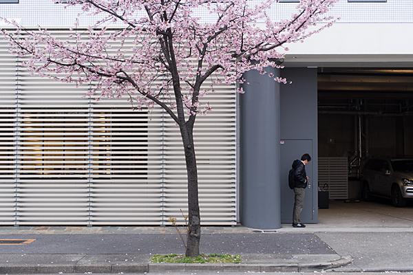 高岳桜2-5