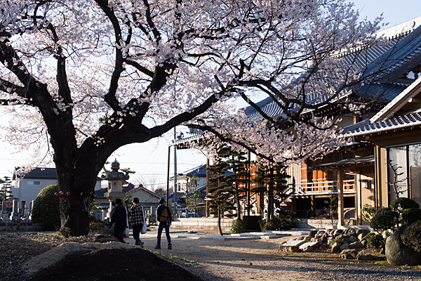 覚成寺桜-7