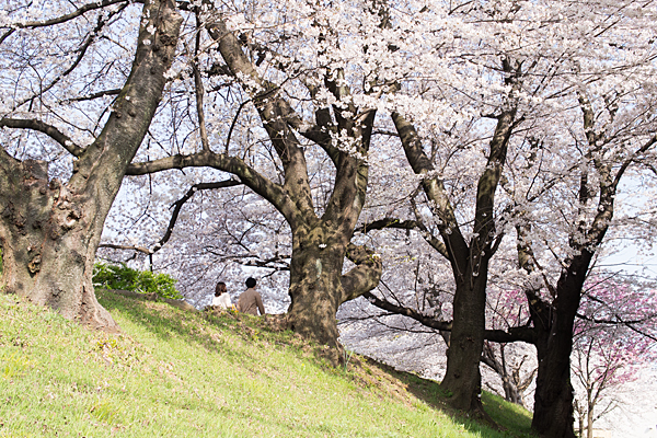 桜2-12