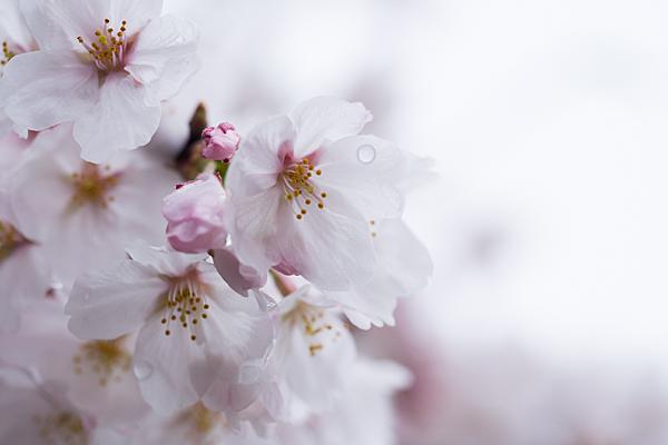 桜10-7