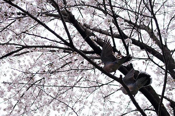 桜10-8