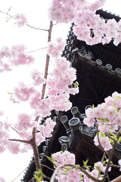 桜11-4