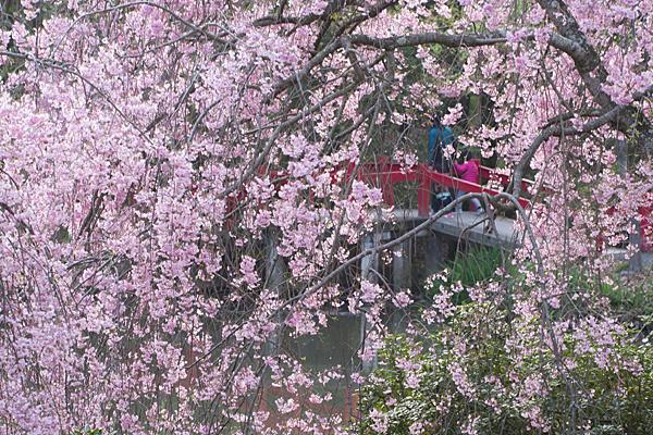 桜11-8