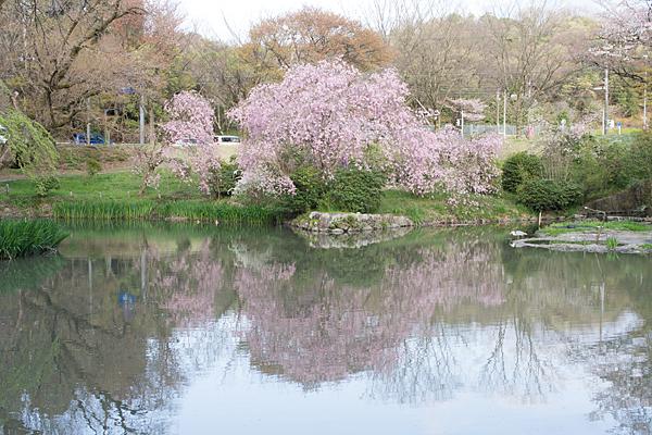 桜11-9