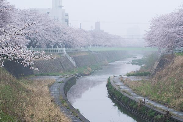 桜3-11