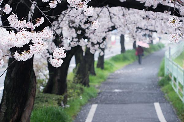 桜3-13