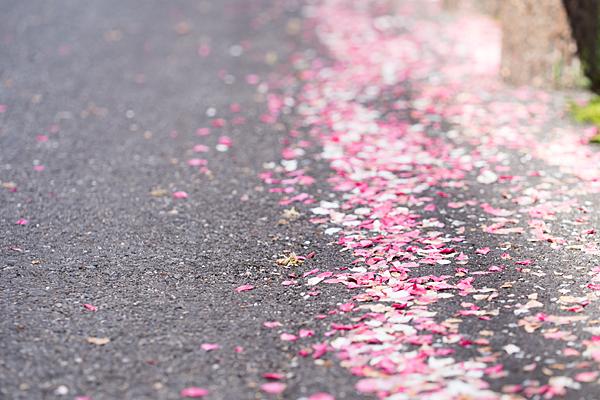散った花桃