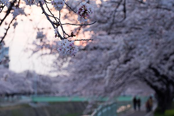 桜5-10