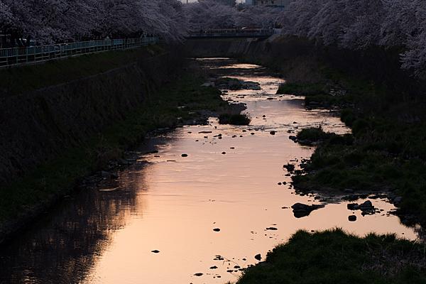 桜5-11