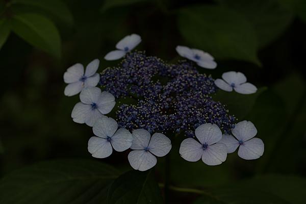 茶屋ヶ坂アジサイ-12