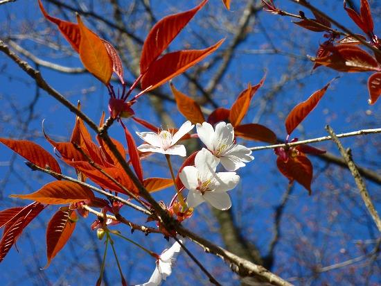 15,3,26 山桜 (2)