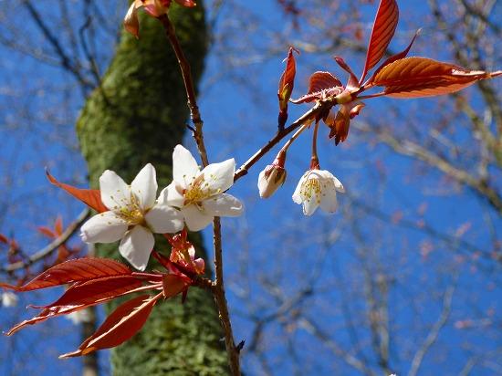 15,3,26 山桜